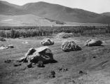 Flower seeds in canvas sacks, Lompoc Fields