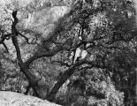Tree after fire, Santa Monica Mountains