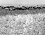 Sheep in San Joaquin Valley