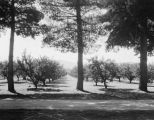 San Fernando Valley orchard