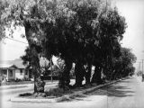 Pepper trees on median