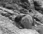 Baby seal on rocks