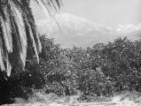 Orange groves, palm trees and snow
