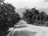 Orange groves and gravel road