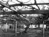 Largest grape vine, Carpinteria
