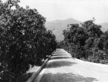 Road in orange grove
