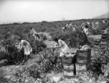 Burbank grape pickers, view 12