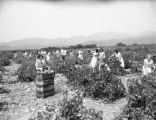 Burbank grape pickers, view 14