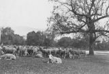 Pasadena sheep ranch