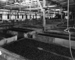 Olive canning plant