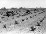 Grape cultivating