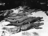 Alligators at water's edge