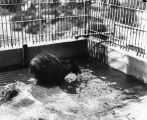 Bear in zoo