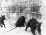 Bears in zoo