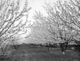 Glenn County almond orchard