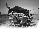 A longhorn jumping over a table
