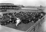 Cattle in stockyards