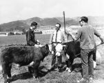 Young men with cattle