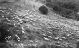 Santa Monica Mountains sheep