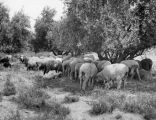 Flock of mission sheep
