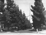 Canary Island pines on Lanewood Ave.