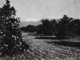 Orange groves and the San Gabriels