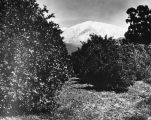 "Orange groves and ""Old Baldy"""