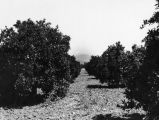 Claremont area orange grove