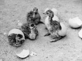 Hatching ostriches