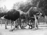 Pecking ostriches