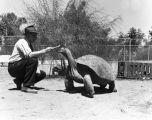 Giant tortoise being fed