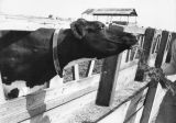 Cattle in dairy farm feedlot