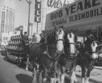 Anheuser-Busch Clydesdale draft horses