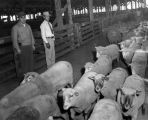 Sheep at L.A. Union Stockyards