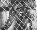 A Macaque baboon at the Baldwin Park Animal Shelter