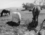 Grazing in Simi