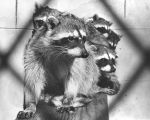 Raccoons at West Los Angeles animal shelter