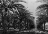 Date palm groves at Furnace Creek Ranch in Death Valley