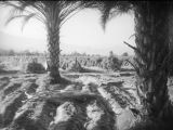 Date palms, Southern California