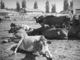 Milk cows at Adohr