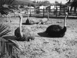 Male surrounded by female ostriches in front of Zoopark buildings