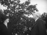 Theodore and Marie Wisloh pick oranges near Piru
