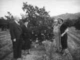 Ethel Schultheis, parents and friend at an orange grove near Piru
