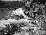Farm worker gathers olives