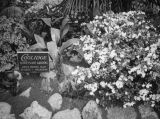 Azaleas from Coolidge, Wistaria Vine, Sierra Madre