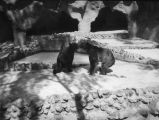 San Diego Zoo bears