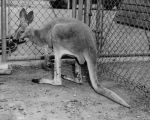 Kangaroo lands in Valley animal shelter