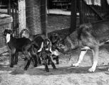 German Shepherd dog plays nursemaid to baby goats