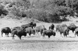 Buffalo herd roams island interior