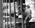 Jungleland lion trainer Jules Jacot at work